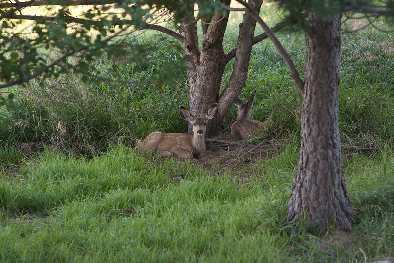 Some local deer were relaxing near the apple trees in the afternoon.