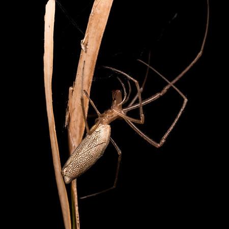 Unidentified Tetragnathidae