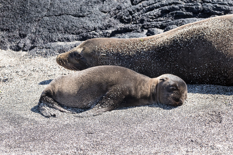 Weeks old sealion pup napping with mom.