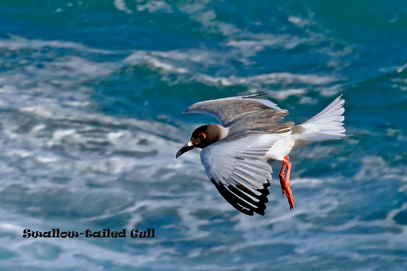 swallow-tailgull4x661.jpg