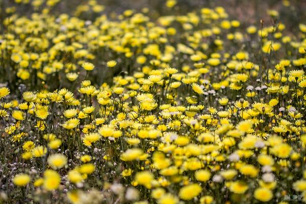Anza Borrego Wild Flowers
