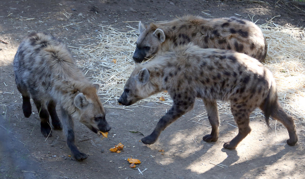 . The Oakland Zoo\'s three new spotted hyenas eat pieces of pumpkin in their habitat at the zoo in Oakland, Calif. on Thursday, Jan. 10, 2013. The hyenas were relocated from the Berkeley Hyena Center at UC Berkeley, where they were being studied in a research program which suffered funding cuts.  (Jane Tyska/Staff)