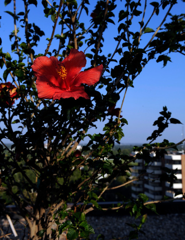 . Another hardy hibiscus adds brilliant red to the garden\'s palette. (Cyrus McCrimmon, The Denver Post)