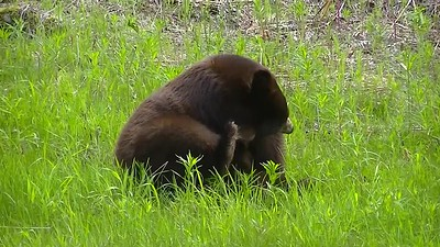 Black Bear Video