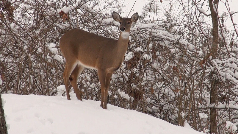 whitetail_snow_003.mov