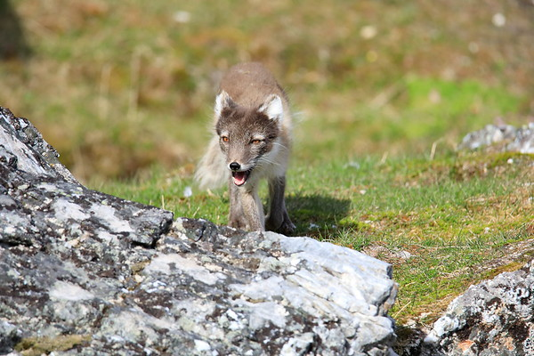 Arctic Fox Mother Svalbard Norway 2018