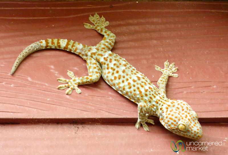 Tokay Gecko on Koh Samui, Thailand