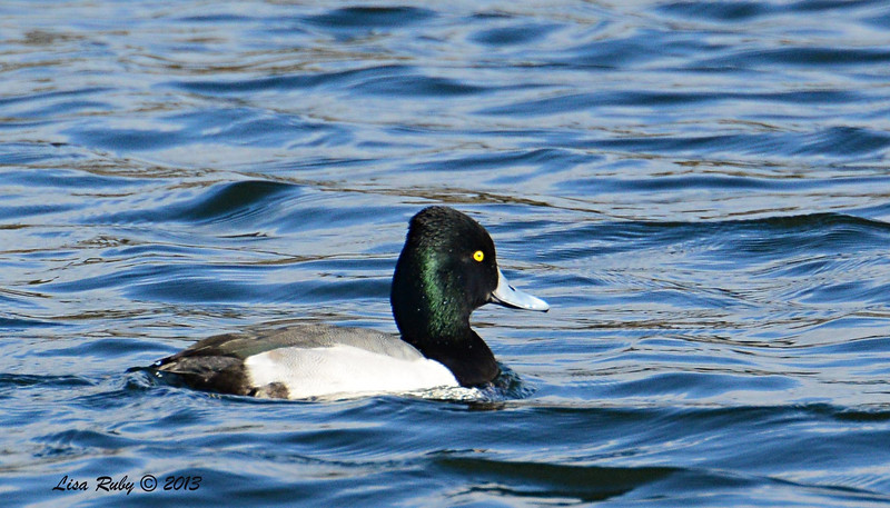Lesser Scaup - 12/21/13 - Lake Murray - sun caught his feathers and made the irridescent green appear