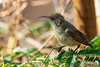 Female collared Sunbird