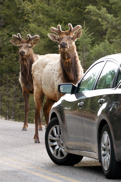 Elk bull in velvet in traffic Yellowstone National Park WY IMG_4926.jpg
