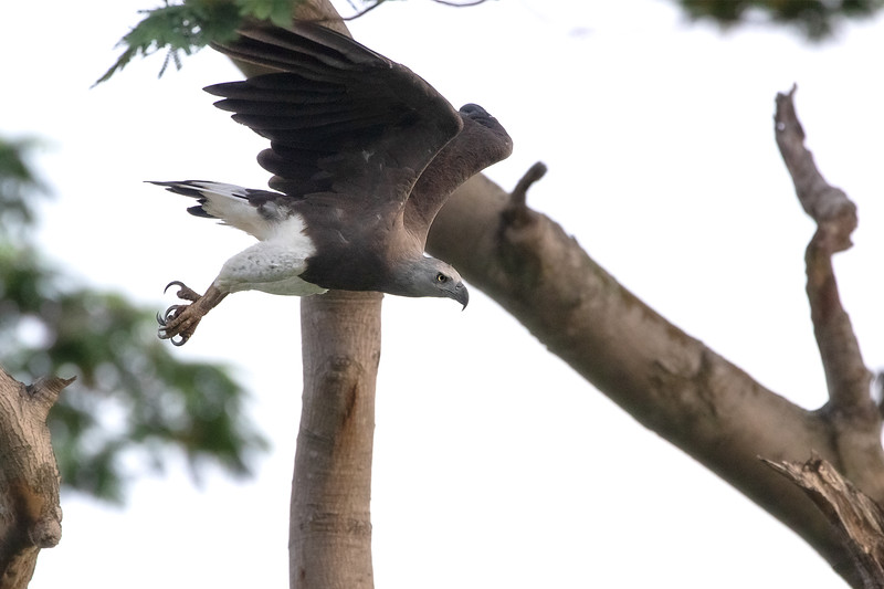 Grey-headed-Fish-Eagle_GL_8947.jpg