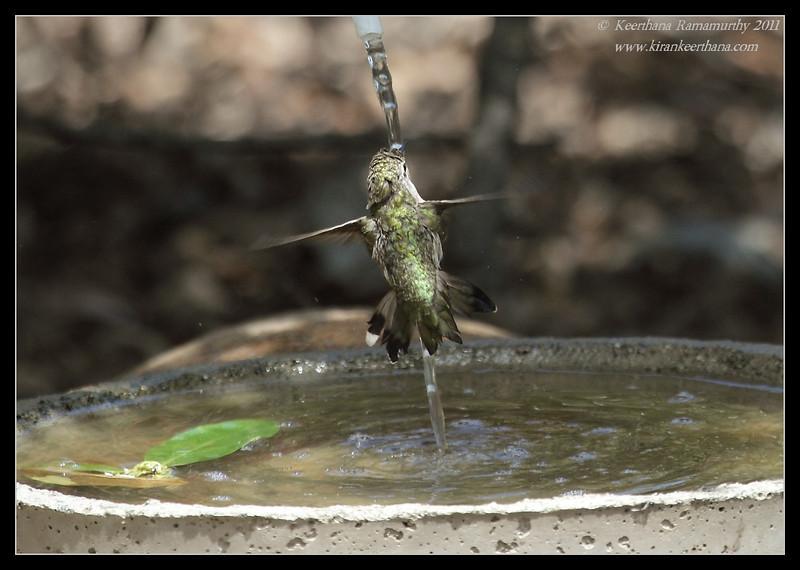 Anna's Hummingbird drinking, The Drip, Cabrillo National Monument, San Diego County, California, June 2011