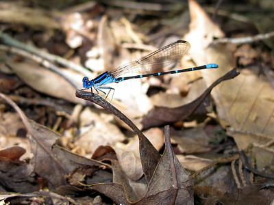 Blue-ringed Dancer (Argia sedula)