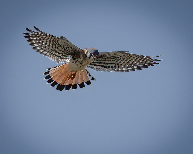 _6001477-Edit-Edit American Kestrel male hunting.jpg