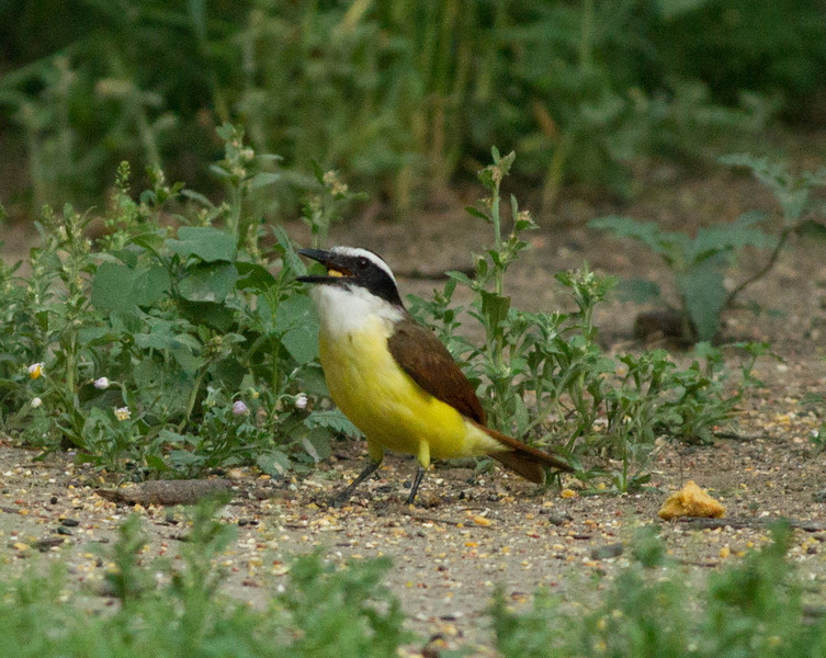 Great Kiskadee South Texas 2012 03 23-1.CR2