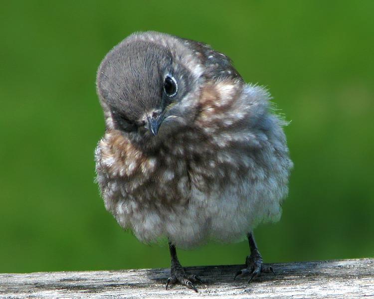 bluebird_fledgling_1367.jpg