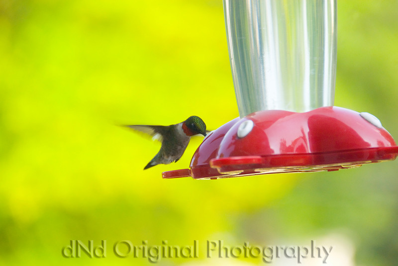 07 Hummingbird May 2007.jpg