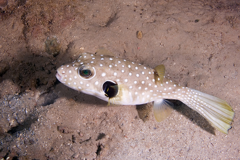 White Spotted Puffer.jpg