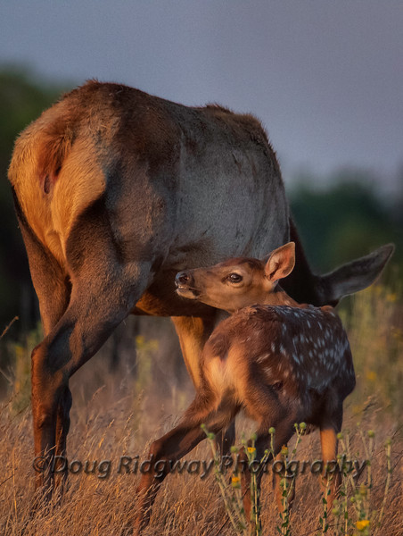 Late Season Spotted Tule Elk Calf and Its Mother