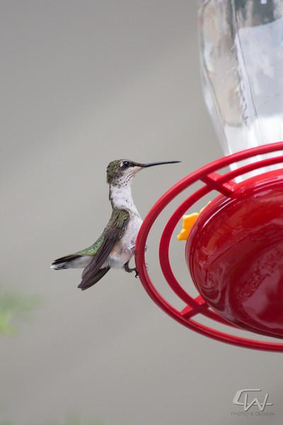 Hummingbird-1932.jpg