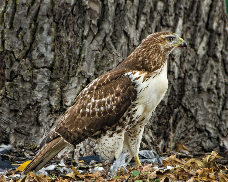 Red Tail in parking lot at work