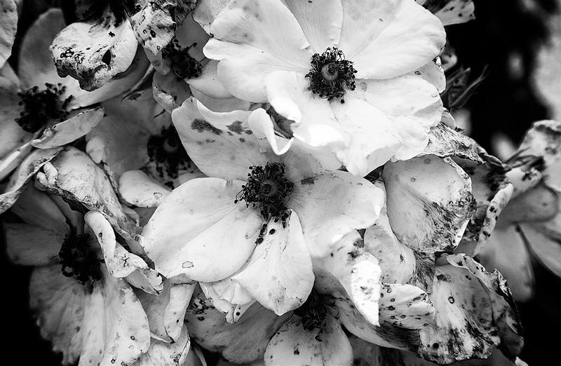 spotted-roses.jpg