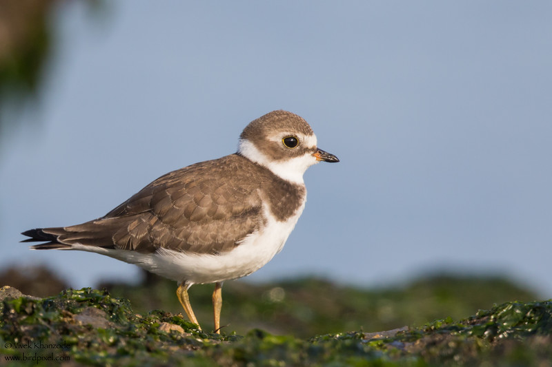 Semipalmated Plover - Half Moon Bay, CA, USA