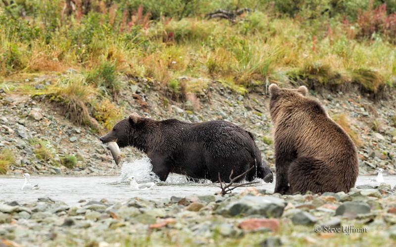20140905-_Q2C0651Katmai-Bears-Kinak-2.jpg