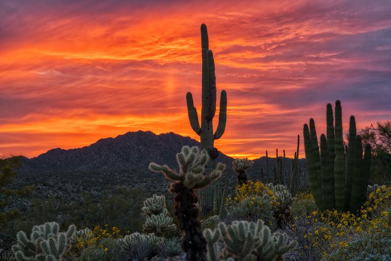 Organ Pipe Cactus 2020-8.jpg