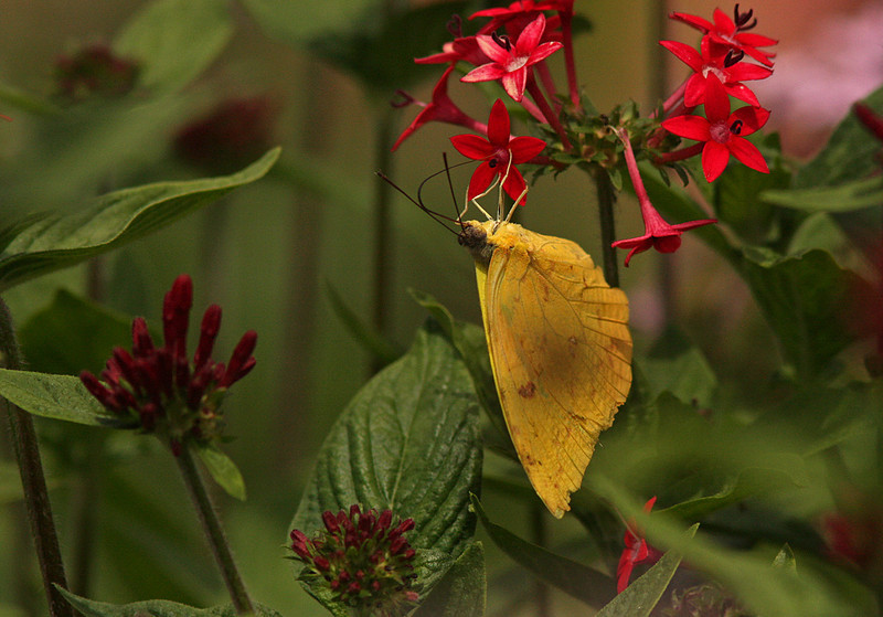 Yellow Sulphur nectaring on red flowers, La Fortuna, Costa Rica