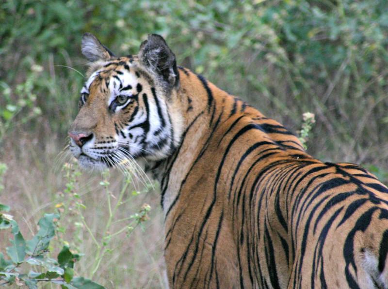 Tiger8.jpg