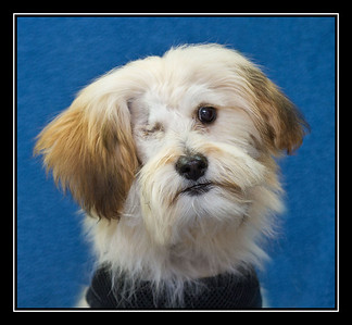 Maltese Rescue Dogs 2013