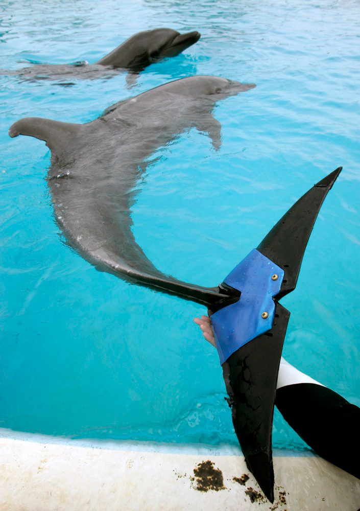 ". A keeper holds an artificial tail fluke attached  to female bottle-nose dolphin ""Fuji\"", estimated to be 37-years-old, at Okinawa Churaumi Aquarium in Motobu town on the southern Japanese island of Okinawa on February 14, 2007. Fuji lost 75 percent of her tail fluke due to an unknown disease in 2002. The dolphin can swim and jump using the artificial tail fluke, which is believed to be the world\'s first artificial fin for a dolphin, and was developed by veterinarians and Japan\'s largest tire maker Bridgestone Co., an aquarium official said.     REUTERS/Issei Kato"