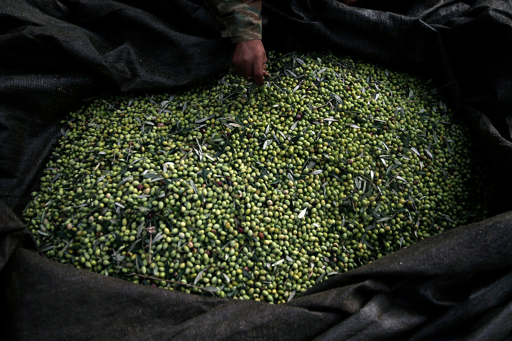 . In this Friday, Nov. 29, 2013 photo, Nikos Kolovos pulls leaves from olives gathered in a net in Kalo Pedi village, about 335 kilometers (210 miles) west of Athens. Plans to extend a brutal efficiency drive to olive oil production in Greece have been met with anger and disbelief. If proposals from a government funded study are adopted, olive oil blended with cheaper vegetable oils will soon go on sale as part of an effort to modernize Greece\'s economy, which was rescued from near bankruptcy four years ago.  (AP Photo/Petros Giannakouris)