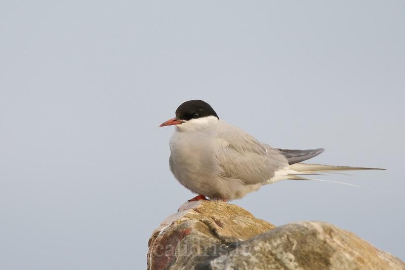Arctic Term sits on a rock / Jūras zīriņš uz akmens