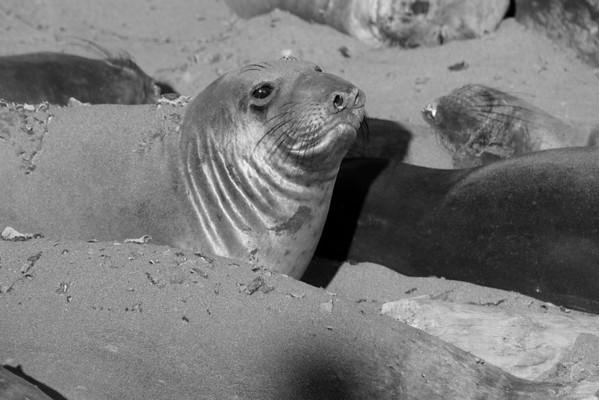 Elephant Seal Trip May 2014