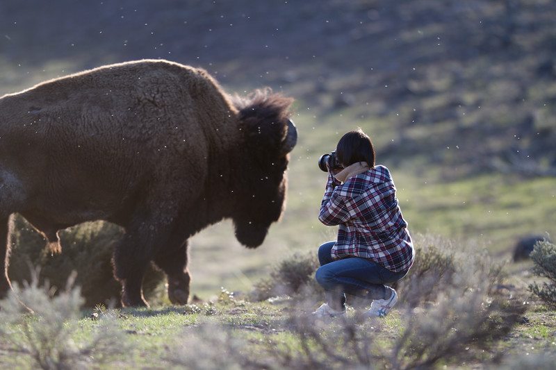 Bison and photographer Yellowstone National Park WY IMG_6345.jpg