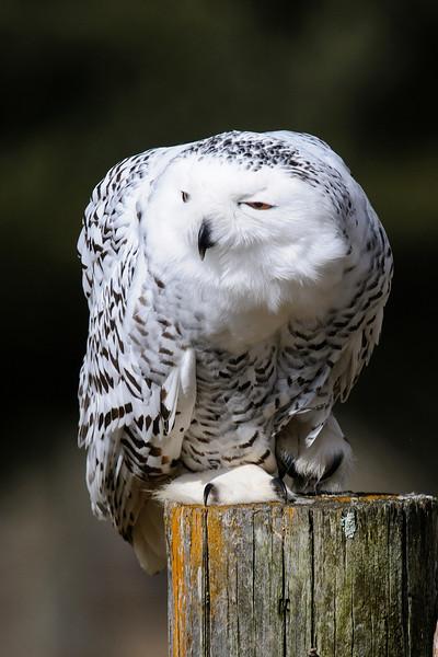 Owl - Snowy - (captive) - Owl Festival - Houston, MN - 08
