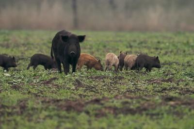 Feral Pig