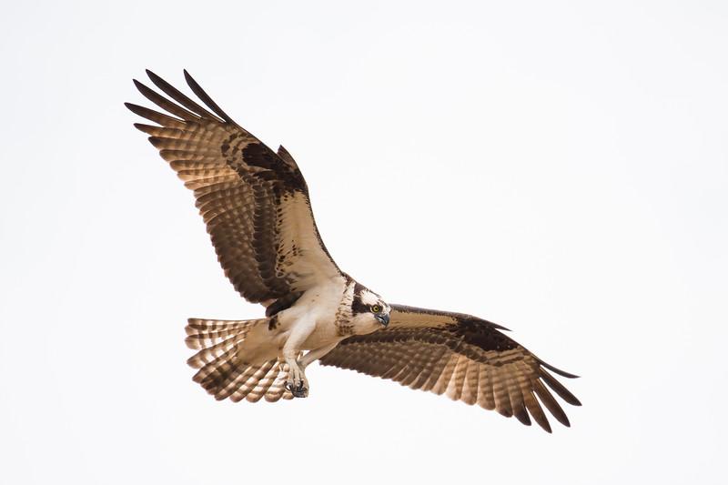 osprey-3150.jpg