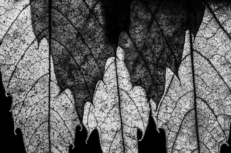 leaf study 4.jpg