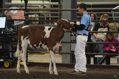 Midwest Spring Red & White Heifer Show 2017