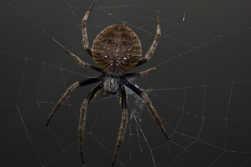 Garden Orb Spider-9038-2.jpg