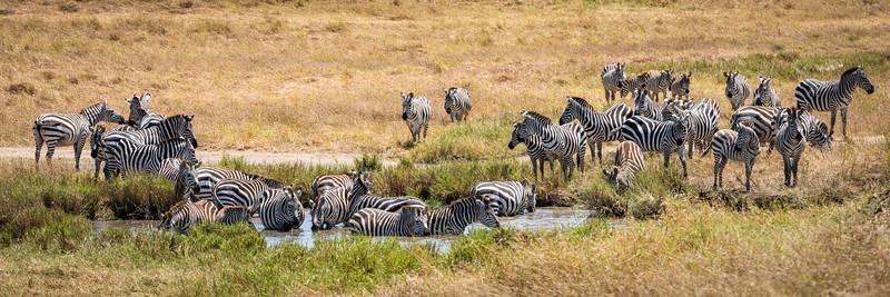 Zebras in the Water