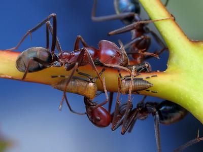 subfamily Dolichoderinae