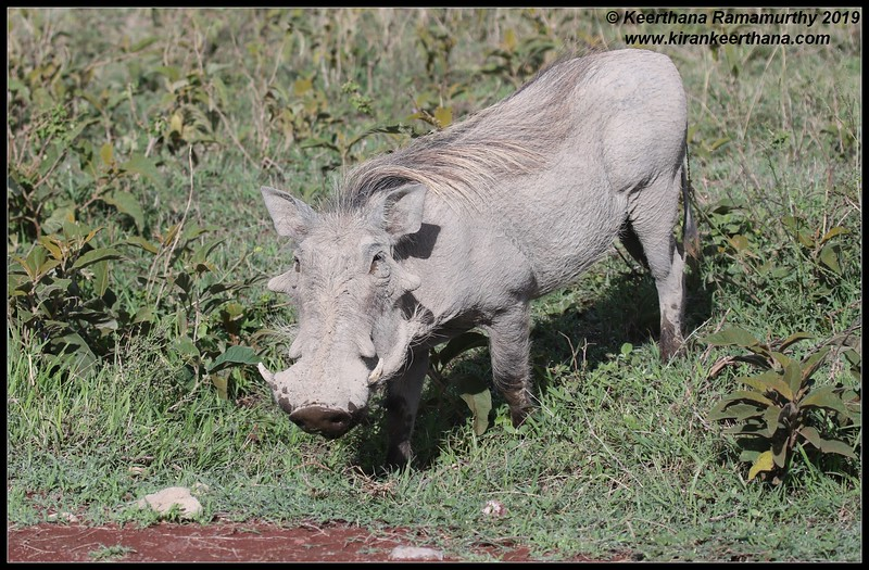 Warthog, Ngorongoro Crater, Ngorongoro Conservation Area, Tanzania, November 2019