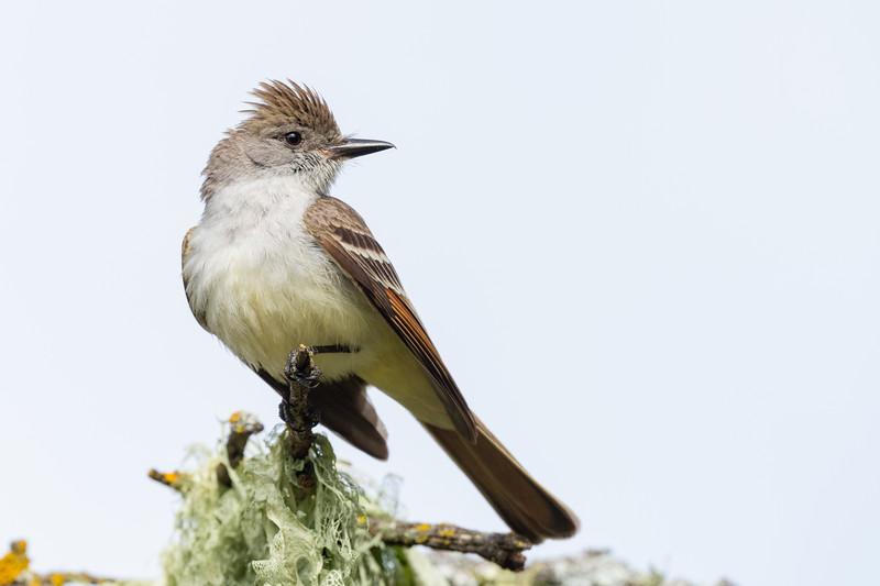 Ash-throated Flycatcher - San Jose, CA, USA