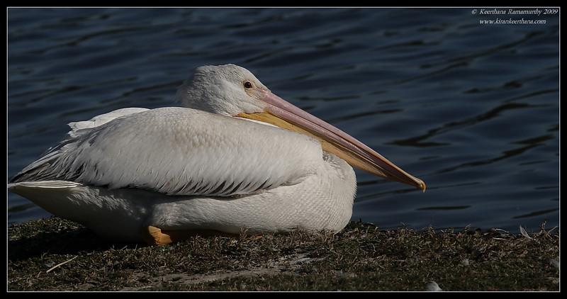 American White Pelican, Lindo Lake, San Diego County, California, January 2009