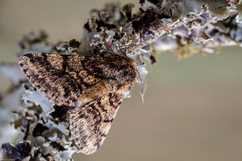 Brindled Beauty Moth