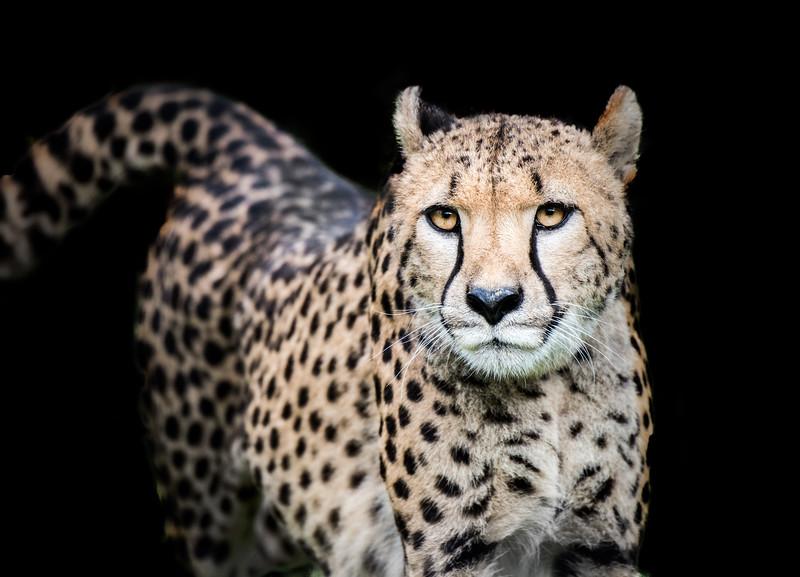 Beautiful cheetah adult looking at camera